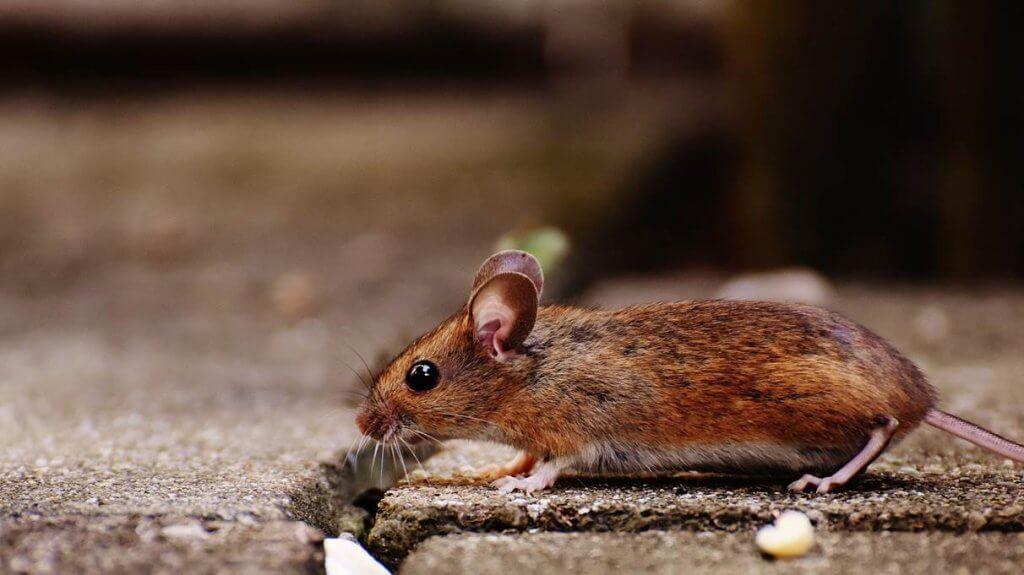 cara mengusir hama wereng dan tikus Star Farm