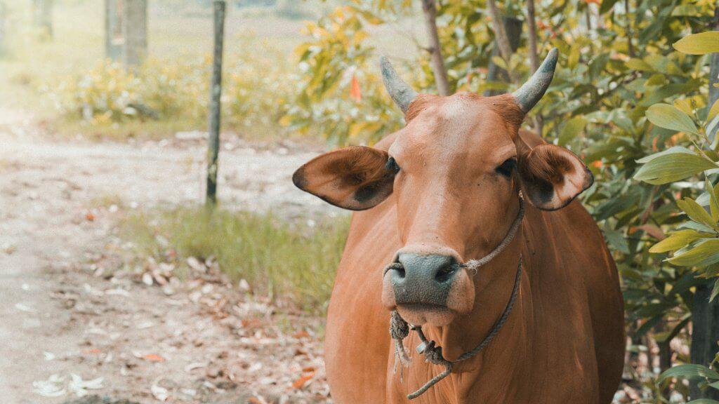 ciri-ciri hewan yang tidak layak dijadikan qurban Star Farm
