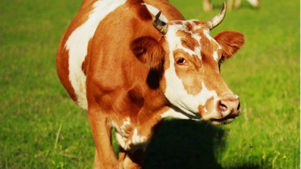 fungsi hewan qurban Star Farm