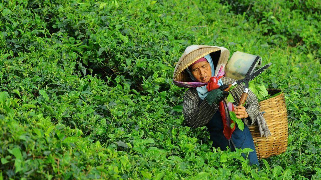 komoditas unggulan perkebunan Indonesia Star Farm