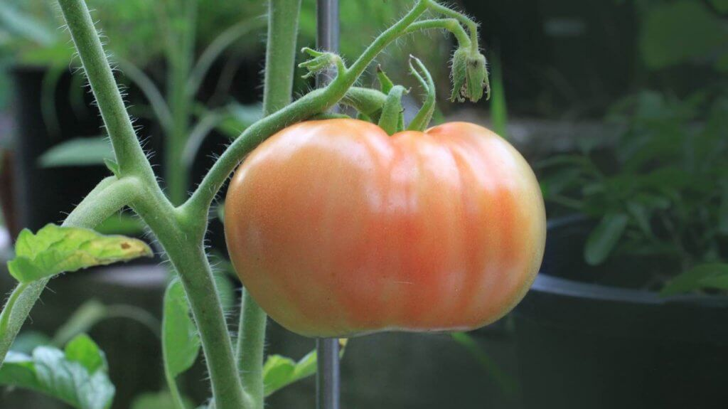 tips menanam tomat Star Farm