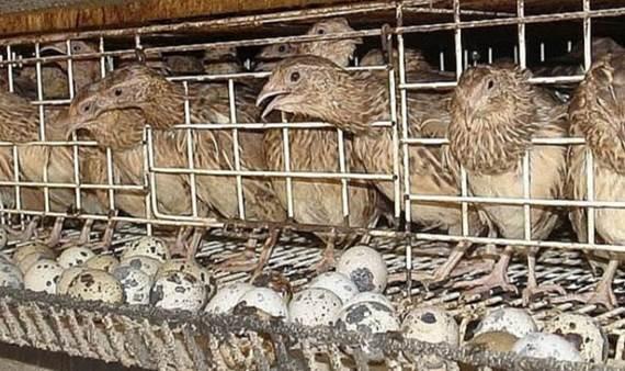 cara ternak burung puyuh Star Farm