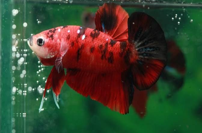 cara ternak ikan cupang star farm