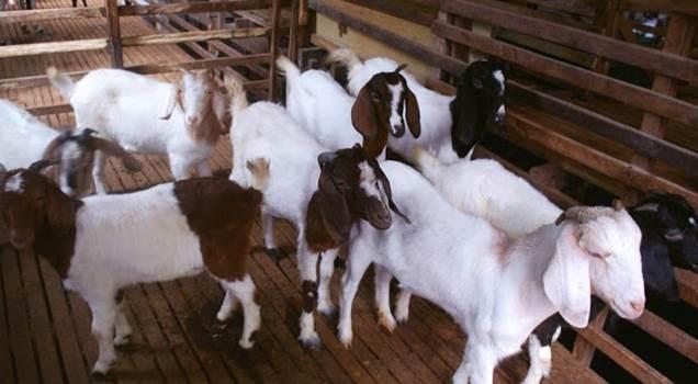 cara ternak kambing Star Farm