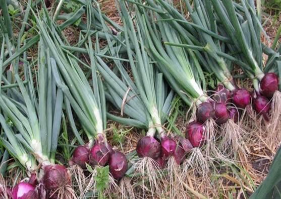 cara menanam bawang merah Star Farm