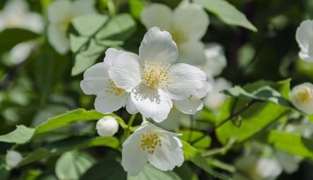 cara menanam bunga melati Star Farm
