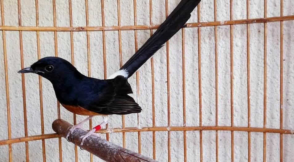 cara ternak burung murai
