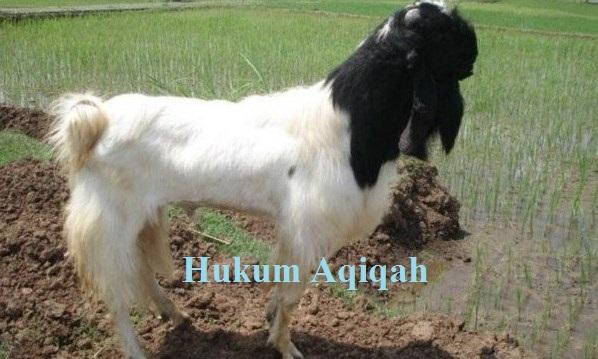 hukum aqiqah Star Farm