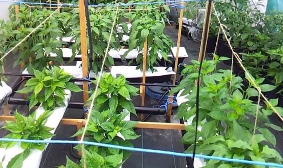 menanam-cabe-hidroponik-Star-Farm