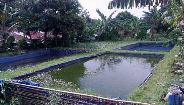 Budidaya-ikan-nila-star-farm