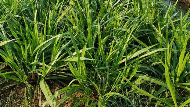 fakta-tentang-rumput-pakchong-star-farm